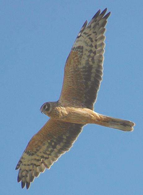 Pallid Harrier.jpg