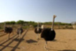 Ostrich Farm.jpg