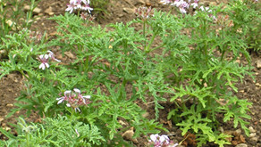 SIRI 75: POKOK JEREMIN (Pelargonium radula) MENGHALAU NYAMUK?