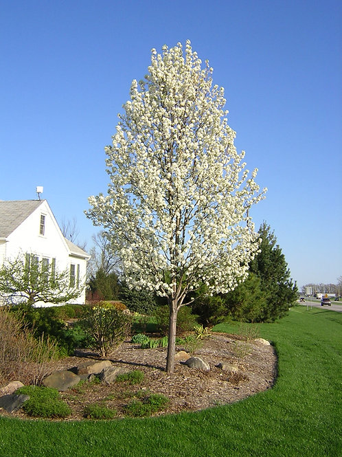 Chanticleer/Cleveland Pear