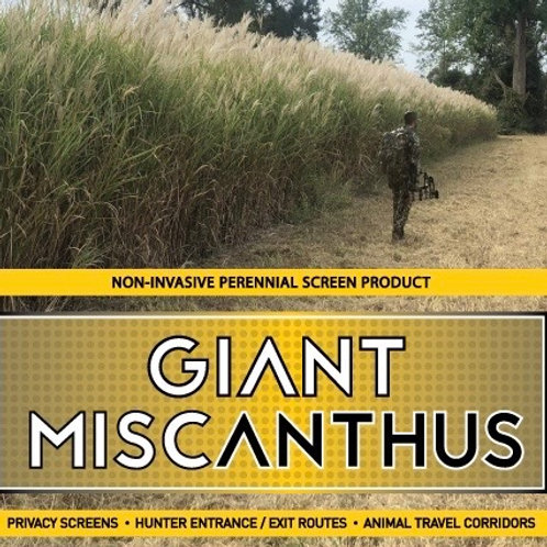 Giant Miscanthus (Bags of 100 ea)