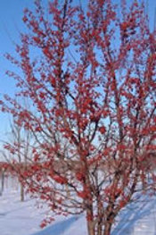 Red Jewel Crabapple