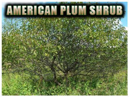 American Plum