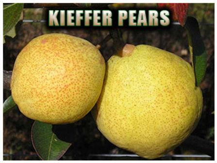 Kieffer Pear