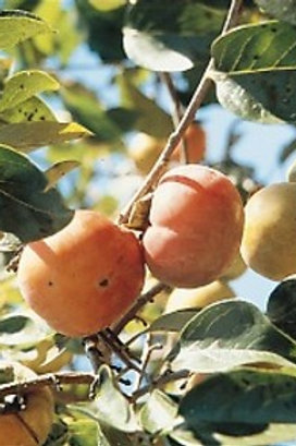 Persimmon, Common (Diospyros virginiana)