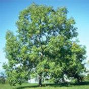 Chinkapin Oak