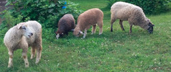 Teeswater Ewe Ram Lamb Sheep Cross Wool Breed Stock For Sale