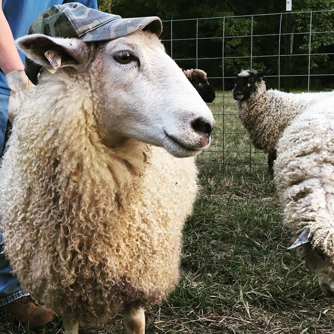 Teeswater Ewe Ram Funny Sheep Cross Wool Breed Stock For Sale