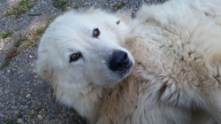 LGD Livestock Guardian Dog Great Pyrenees Farm