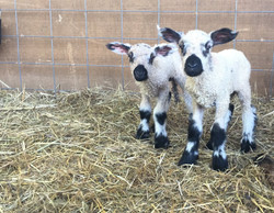 Teeswater Ewe Ram Sheep Lambs Breeding Stock Farm For Sale