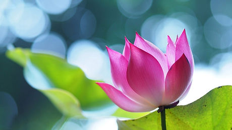pink-lotus-flower-wallpaper.jpg