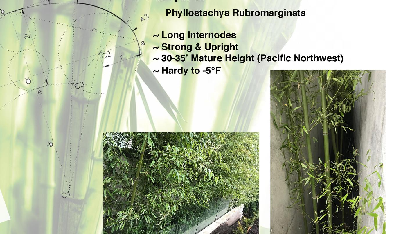 Species Sheet Bamboo  P Rubro.jpg
