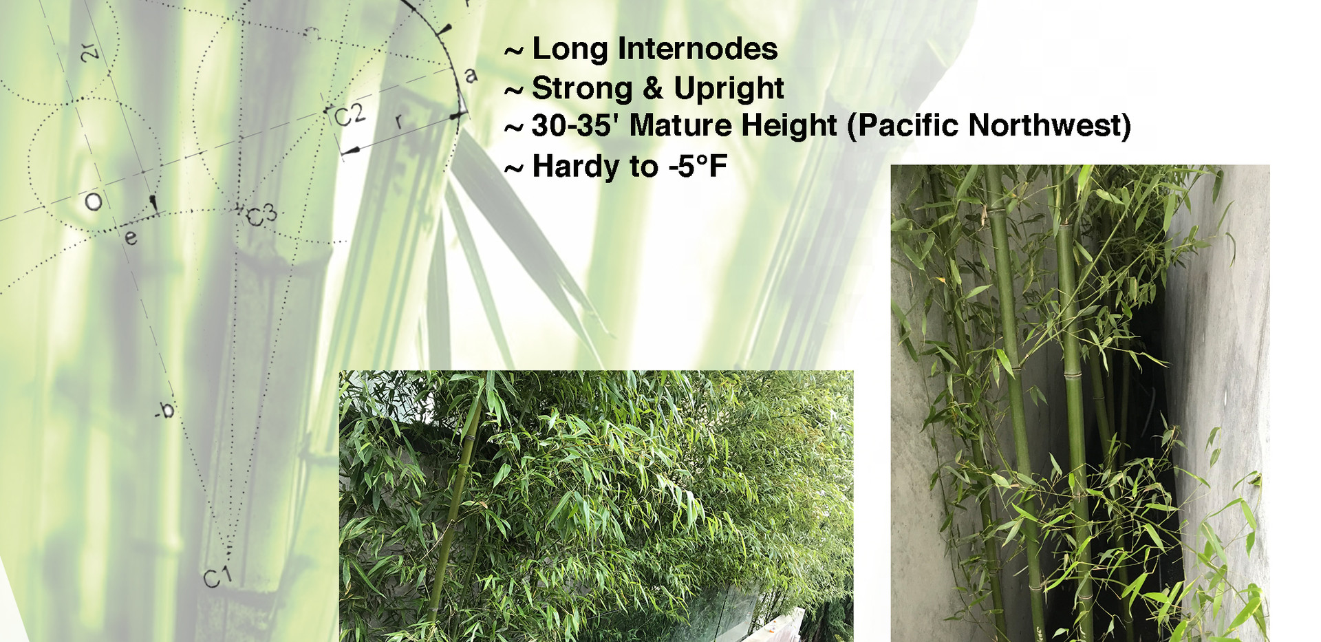 Species Sheet Bamboo  P Rubro.jpg