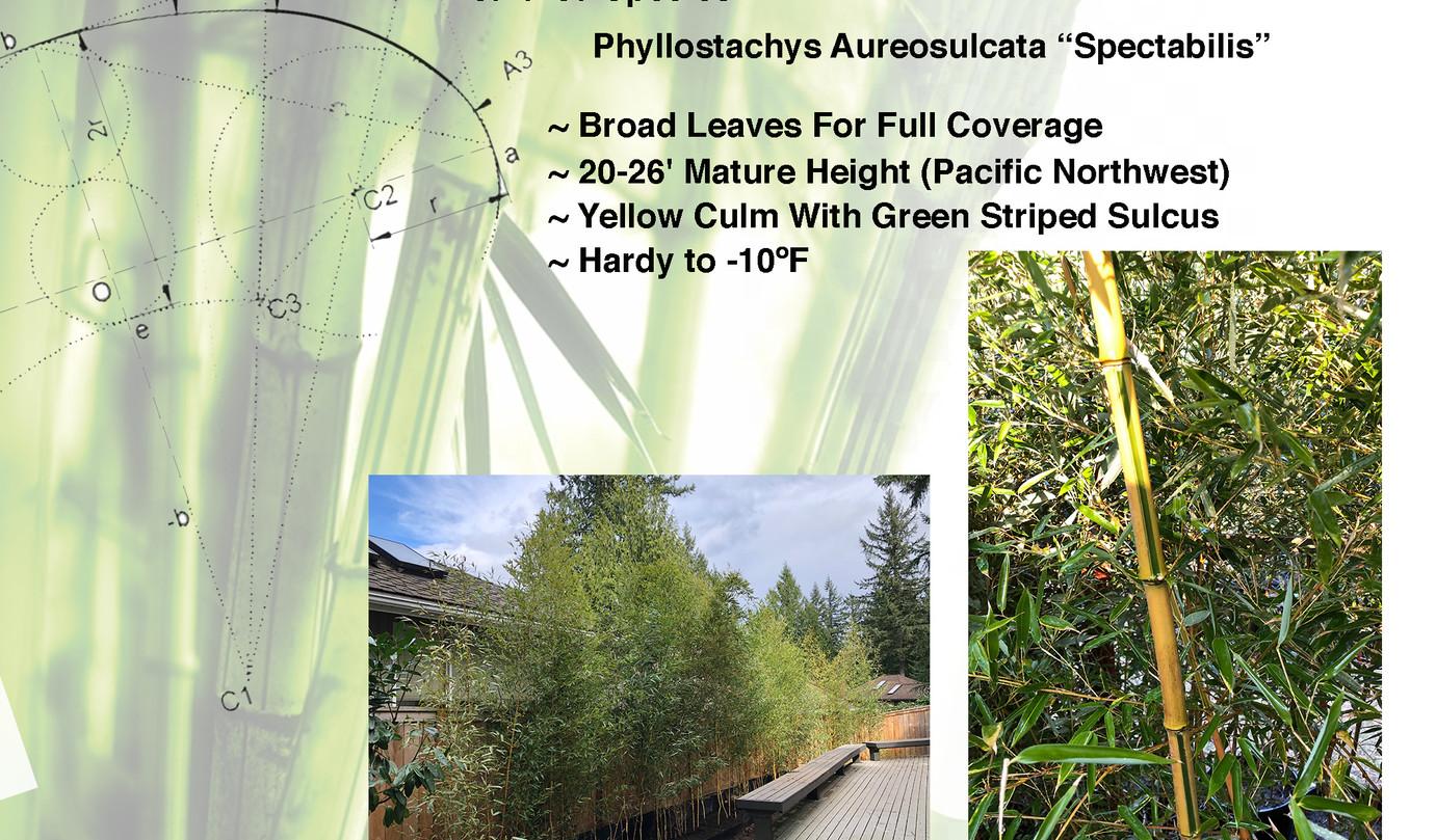 Species Sheet Bamboo  P Spectabilis.jpg