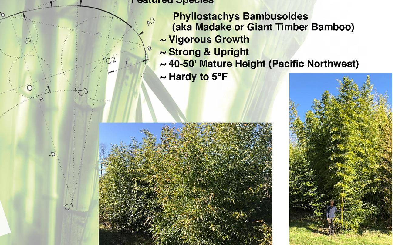 Species Sheet Bamboo  P Bambusoides.jpg