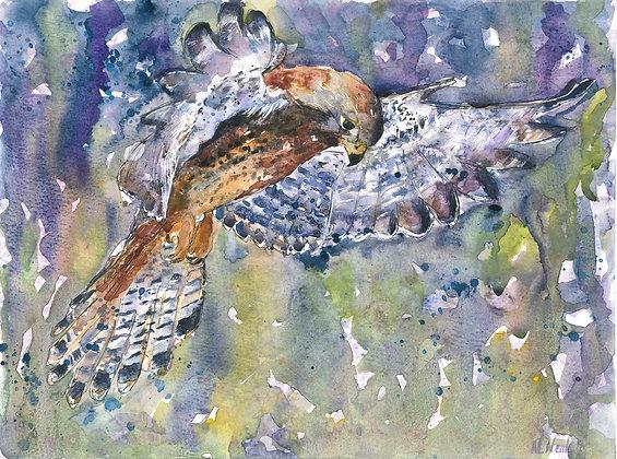 Hunting Kestrel Fine Art Print