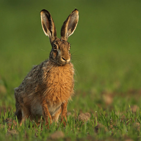 Hare Spring Equinox.png