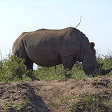 Rhino 10.JPG