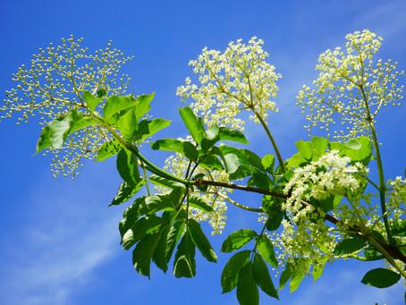 Eight Garden Weeds That Benefit Your Health