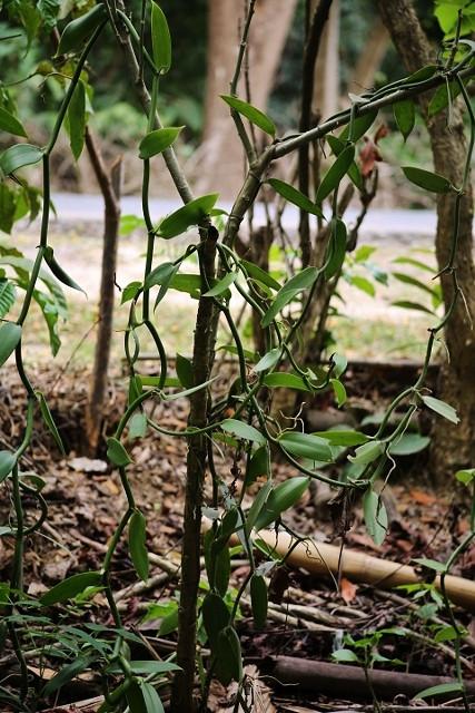 The Vanilla vine grows to 30 metres.