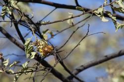 ©MDHarding Male Carpenter Bee