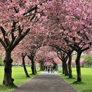 Cherry_Blossoms_©MDHarding.JPG