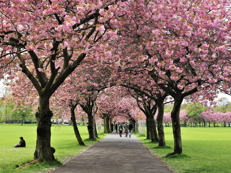 The Three Best Places To See Cherry Blossoms In Edinburgh