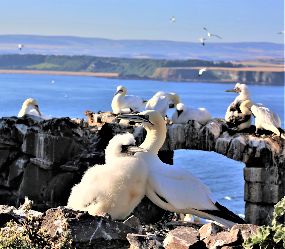 Gannet chick and parent sitting on wall with others sitting on a further wall in the background. There is also the bright blue water, rugged landscape and blue sky.