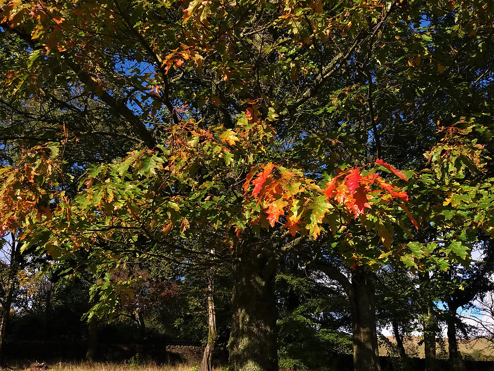 The Mighty Oak Changing Colour