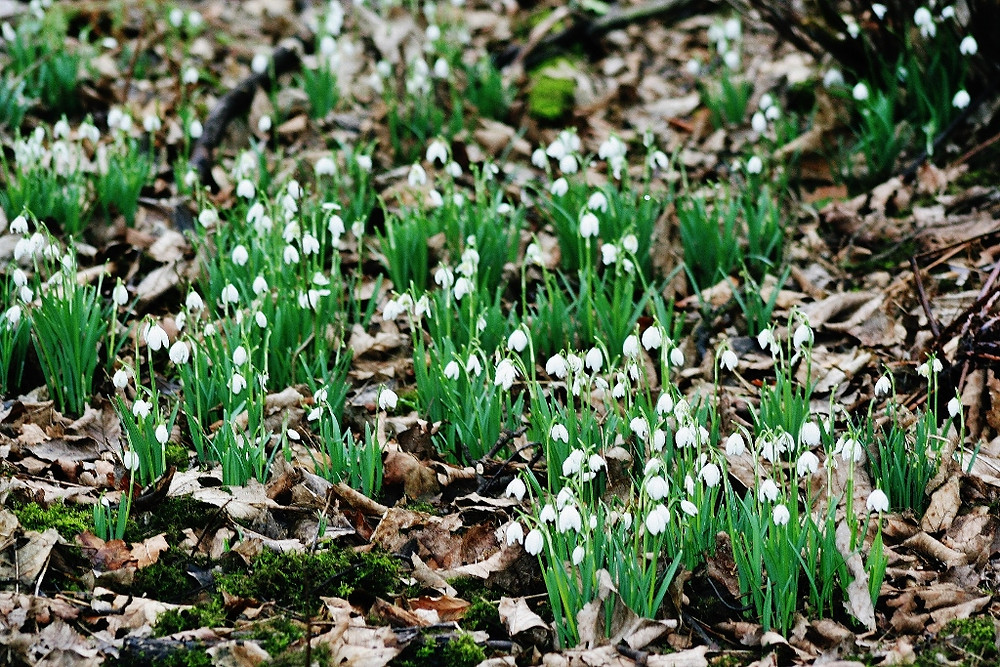 Hundreds of delicate white heads along the woodland floor.