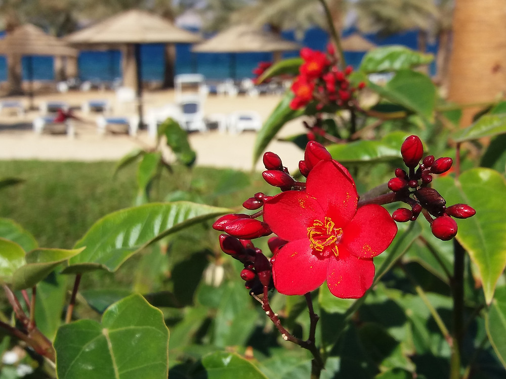 Beautiful Shrub with Red Flowers in front of beach area at Movenpick Tala Bay.