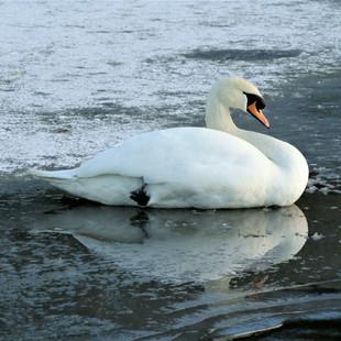 Swan In Winter, Union Canal, Scotland ©M