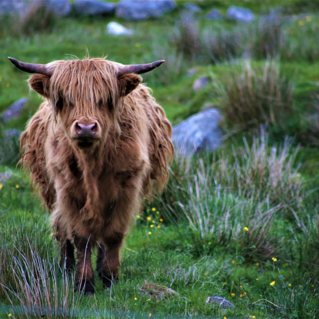 Scottish_Highland_Cow_©MDHarding.JPG