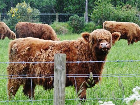 Haggis & Hairy Cow Adventure