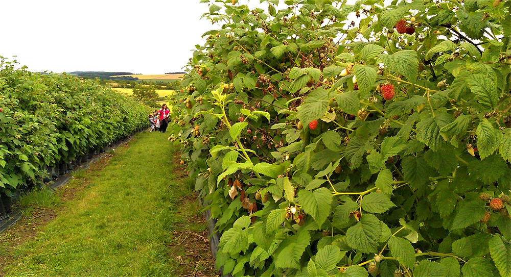 Fruit Picking at Cairnie Fruit Farm