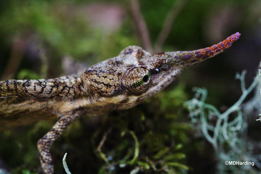 Long-Nosed_Chameleon_-_©MDHarding.JPG