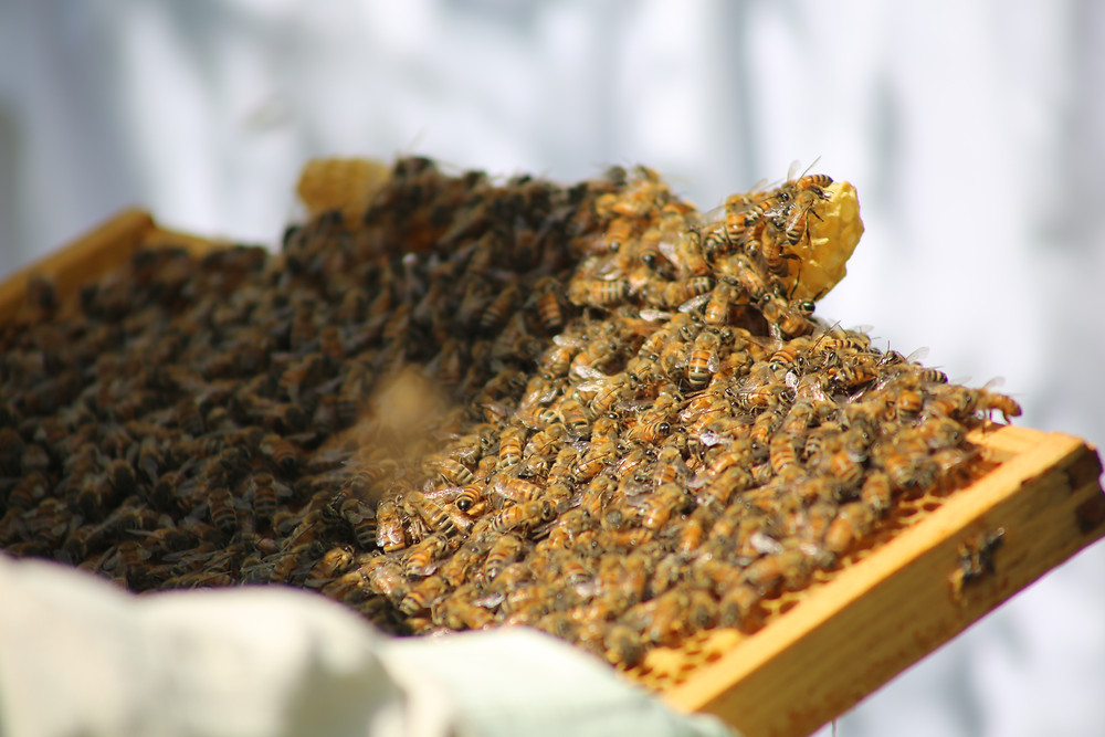 A section from the bee hive, covered in bees.