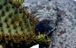 ©MDHarding CactusFinch Galapagos