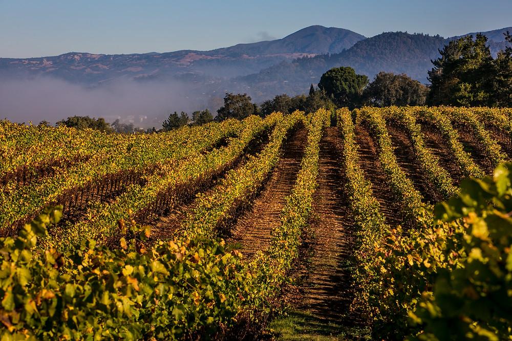 Vineyards In Summer, Sonoma County