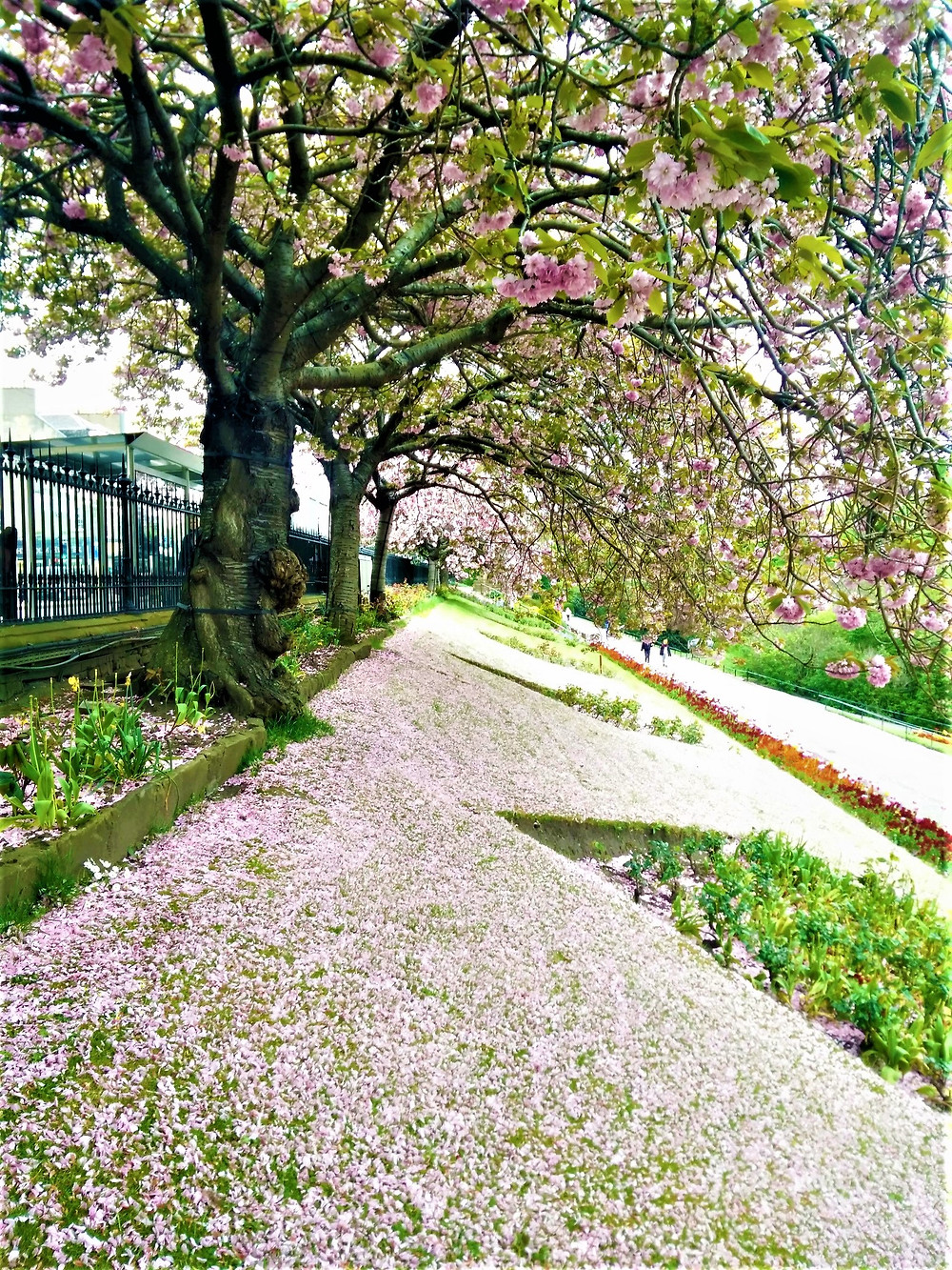 The pastel pink cherry flowers covering the embankment below.