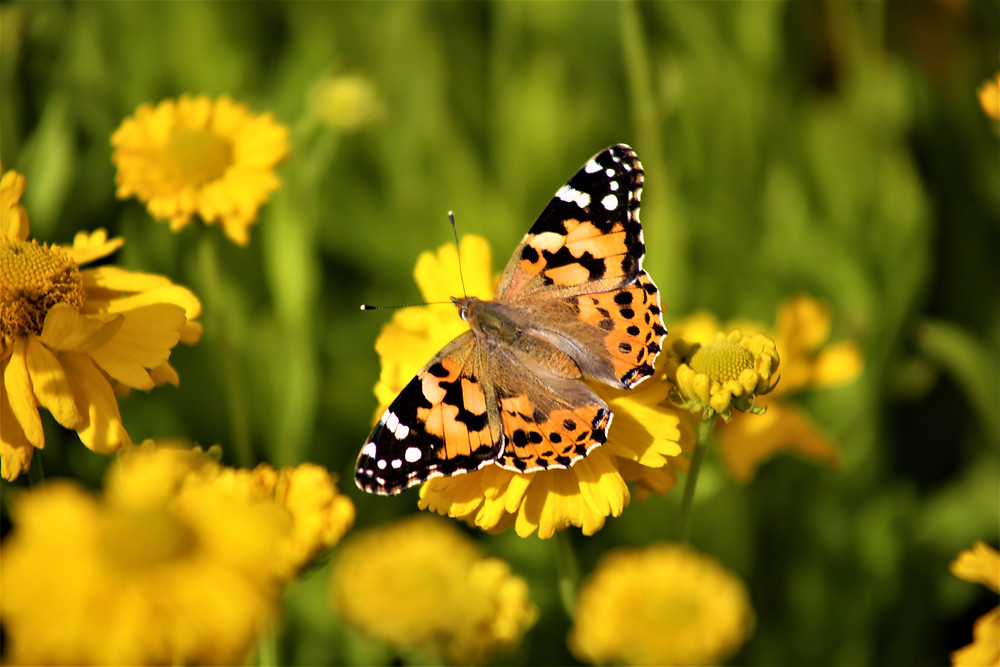 Painted Lady Butterfly on Yellow Helenium 'Butterpat' Flowers at the Gertrude Jekyll Garden