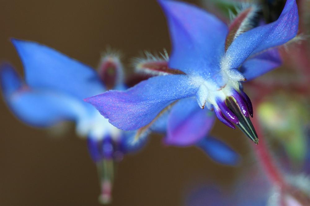 Close up of borage flower.