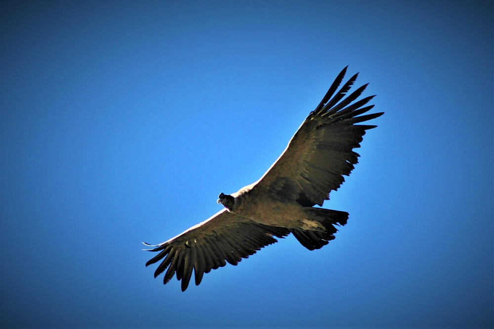 Andean Condor with clear blue sky.