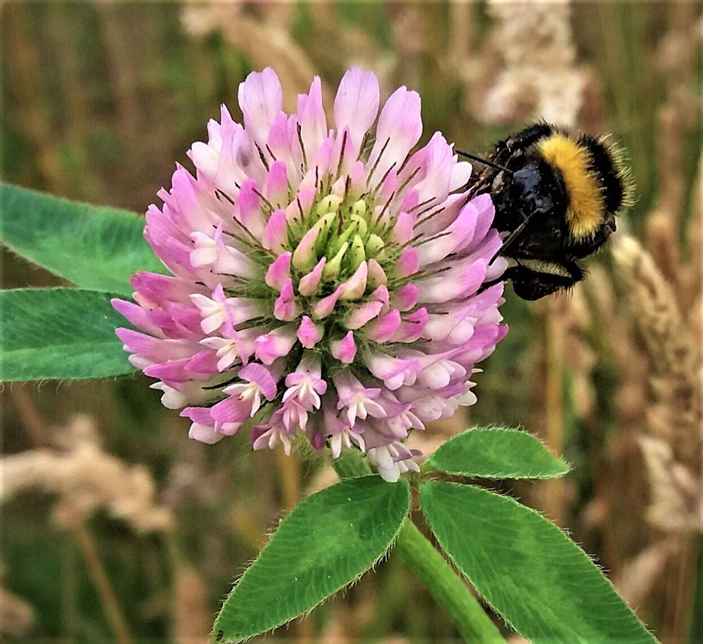 Honeybee on a wild pink flower.