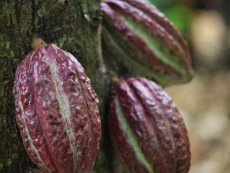 The World Of Chocolate - Cacao