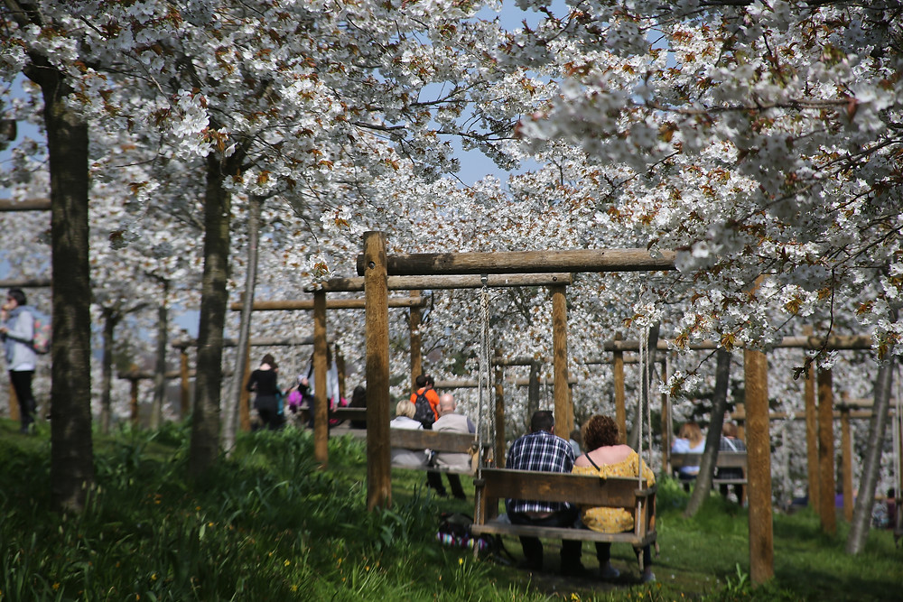 Swing seats in amonsgt the cherry blossom trees.