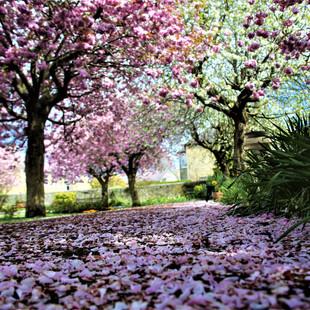 Fallen Cherry Blossom ©MDHarding.JPG