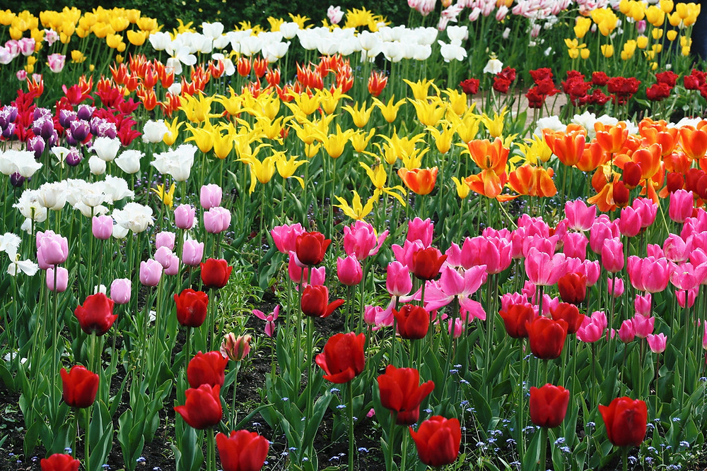Lots of Tulips in all shapes and colours.
