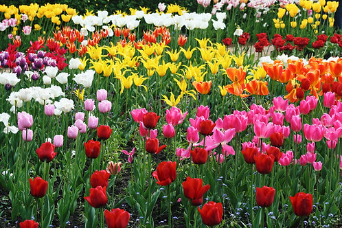 Seasonal Gift Cards For all Occasions - Tulips