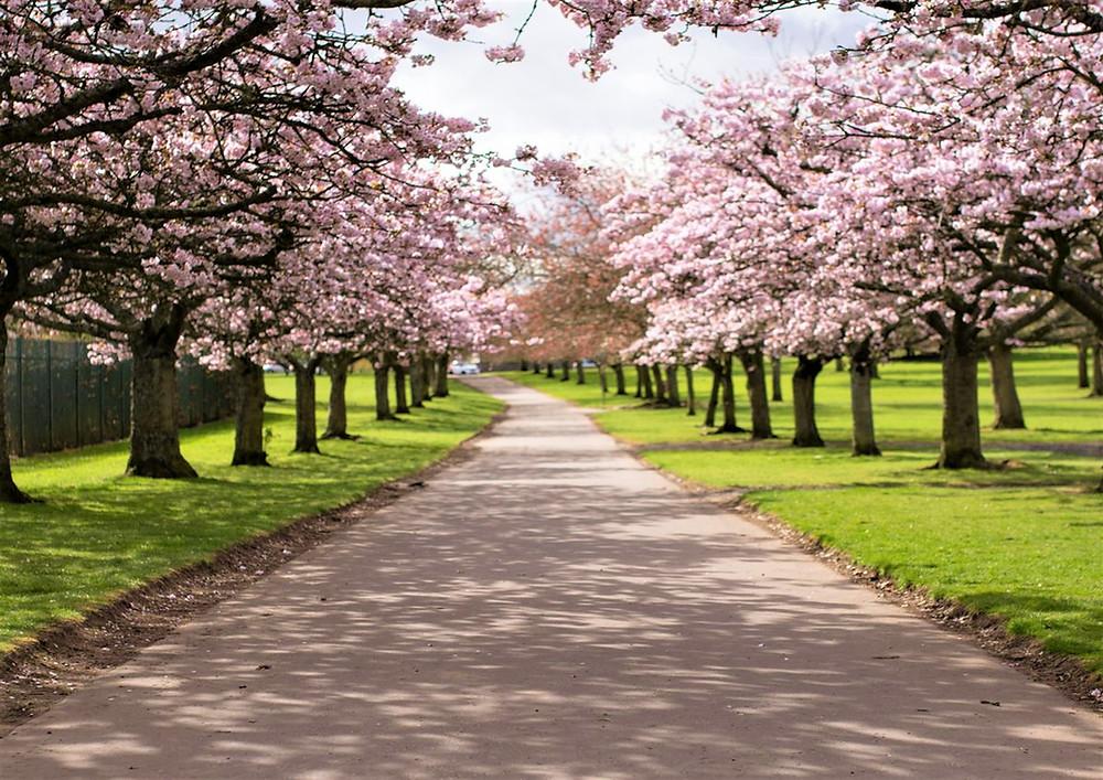 Cherry blossom tree lined avenue.